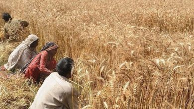 Photo of Wheat support price fixed at Rs 2000 per 40 kg by Sindh cabinet