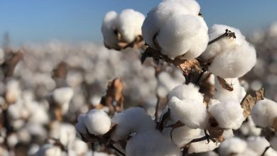 Photo of Cotton stockpiling falls by 43%