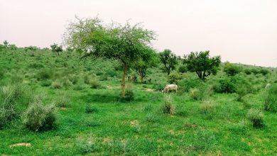 Photo of Thar turns lush green after rains